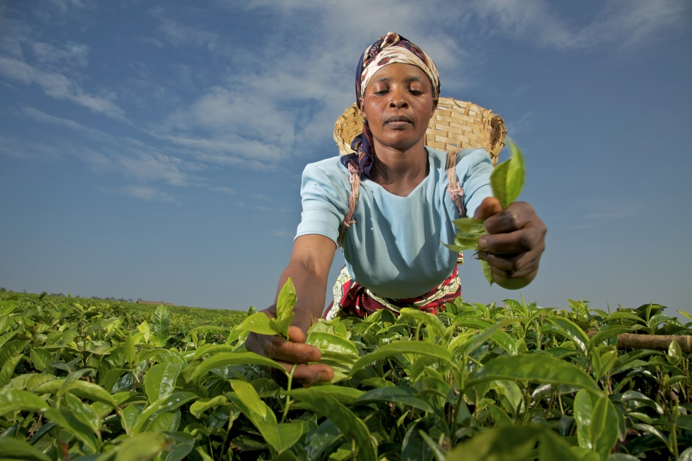 Woman harvesting tea in Tanzania